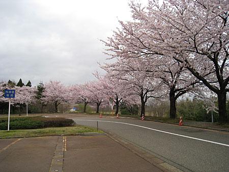 長岡技術科学大学の桜の写真